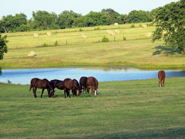 Mares grazing in Pasture